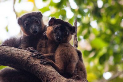 Collared brown lemurs at Sainte Luce Reserve.