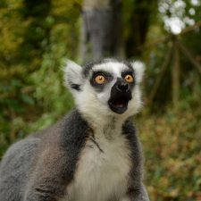 Two new studies indicate that ring-tailed lemurs are threatened with extinction in the wild