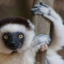Sifakas, Ring-Tails and Sportive Lemurs at Berenty Reserve