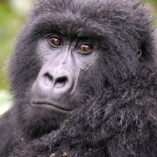 63% of primates species are endangered