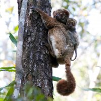 SCP 2010 Southern wooly lemur