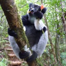 Lemur Poaching in the Antavolobe Forest: A Tragedy