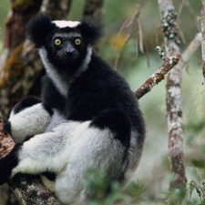 Poachers, Primates, Politics: Dire Times for Lemur Conservation in Andasibe?