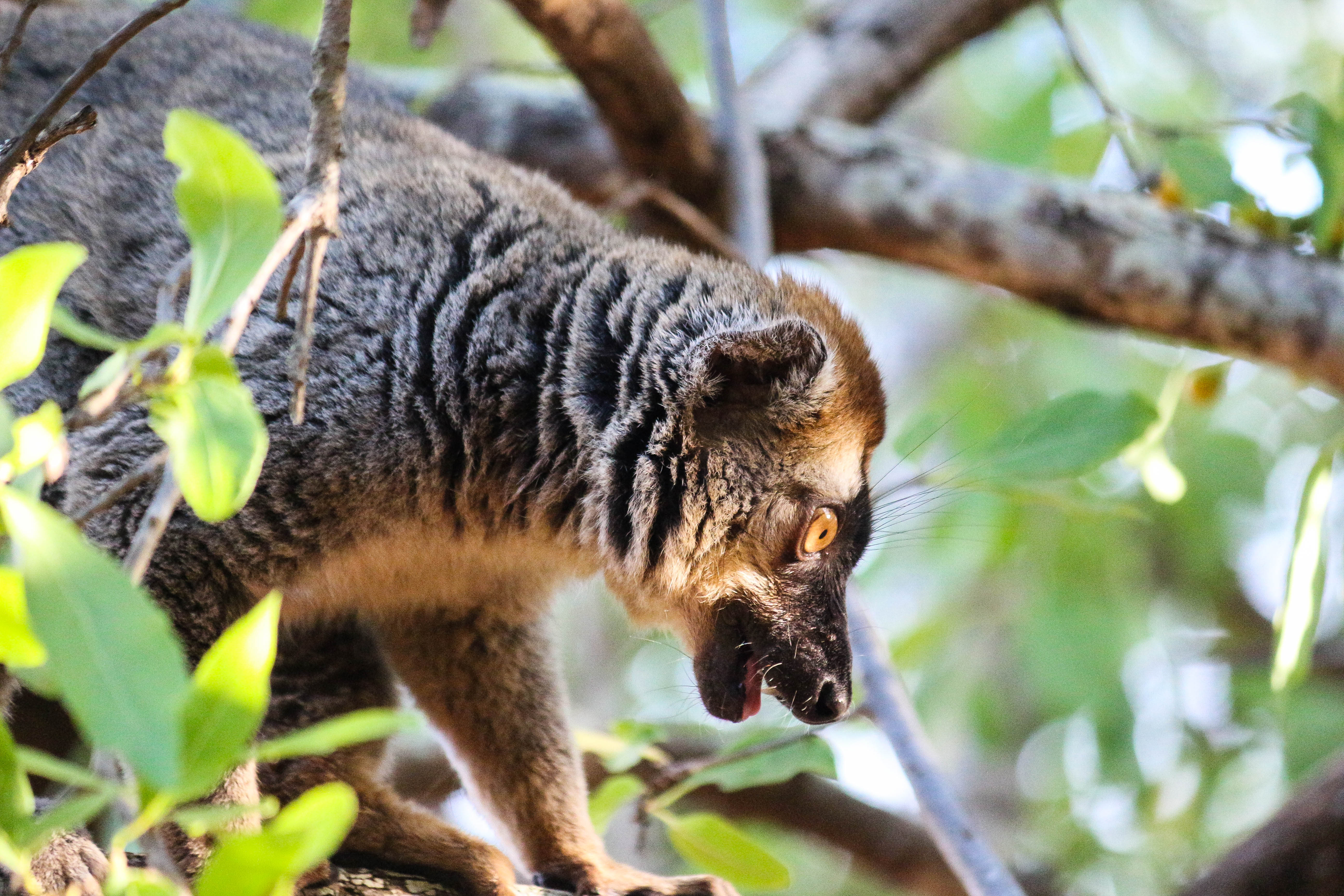 loharanom-baovao (loharano) | lemur conservation network