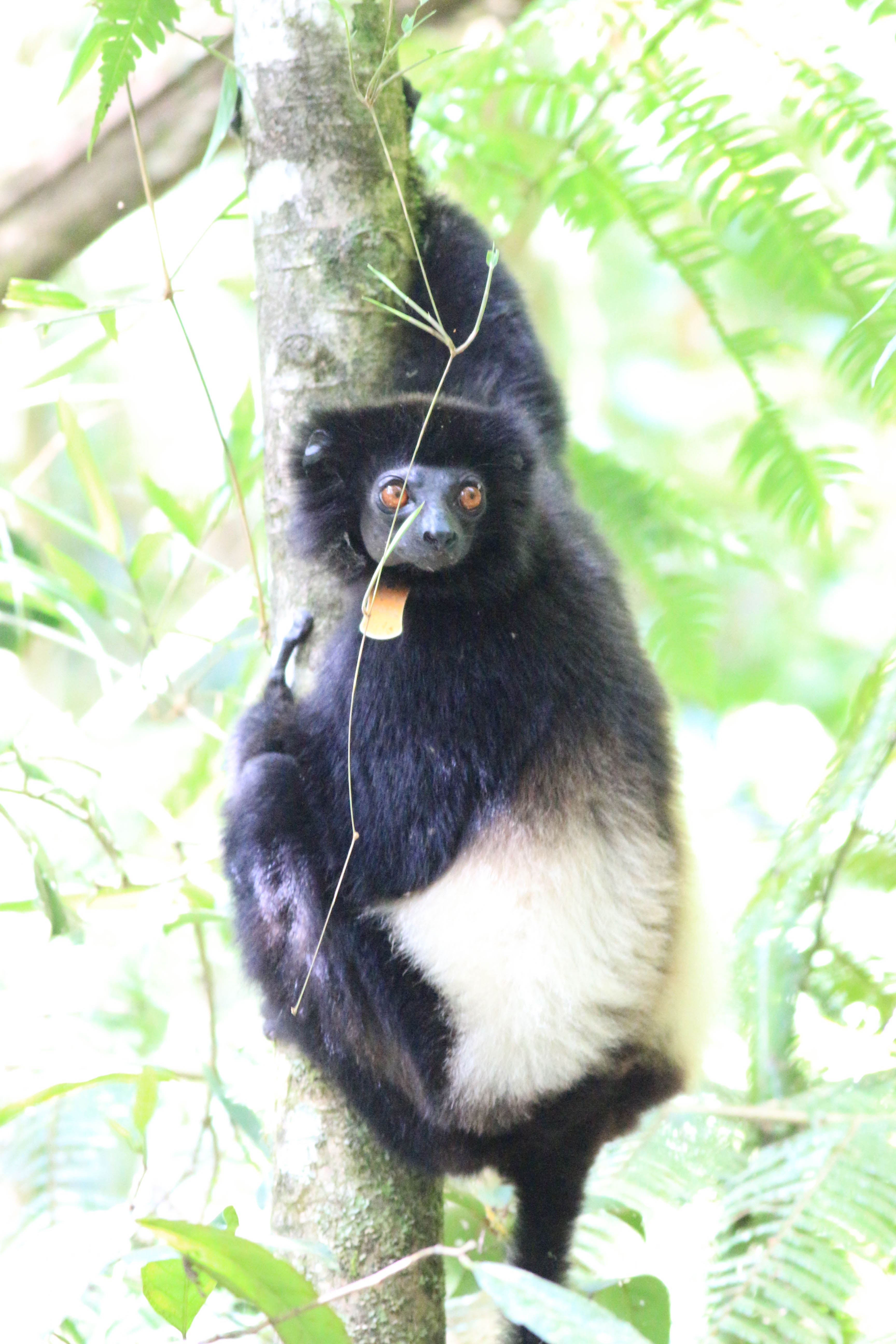 momba ny gidro/varika tsara ho fantatra | lemur conservation network