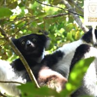 Madagascar Lemurs Portal : Ireo vaovao sy atrik'asa ny 17 Jolay 2019