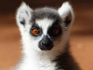 A lemur (Lepilemur) at Eleanor's study site.