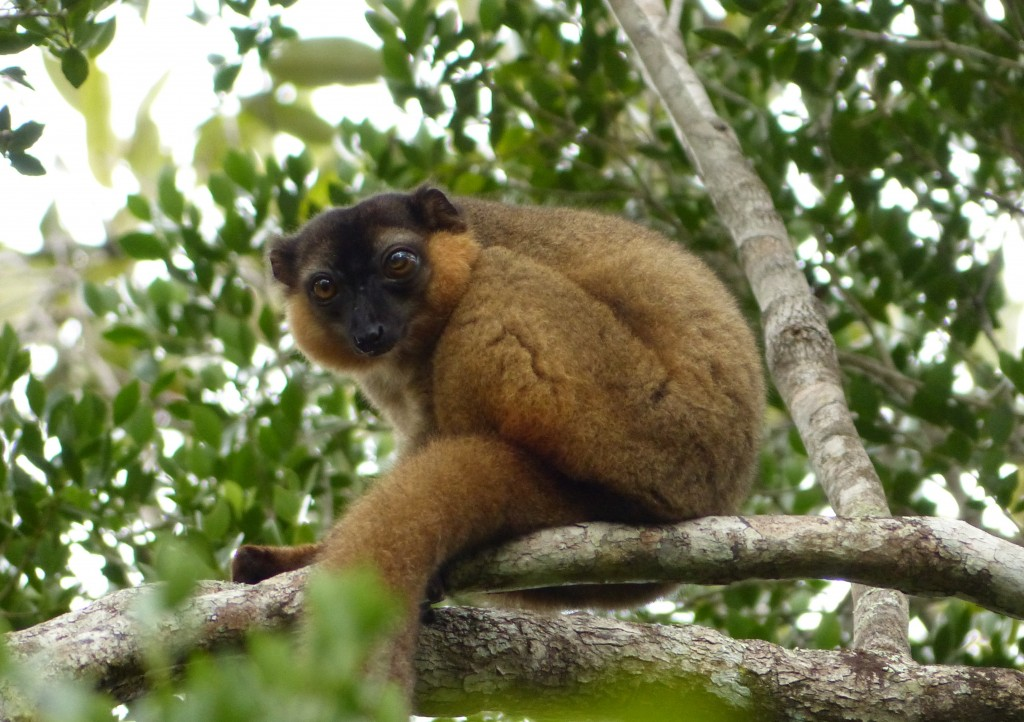A collared brown lemur found in the forests where both Azafady and Sainte Luce Reserve work. Photo courtesy of Azafady.