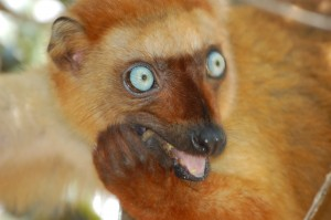 A female Blue-eyed black lemur (Eulemur flavifrons).