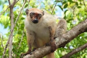 Melanie Seiler Female blue-eyed black lemur
