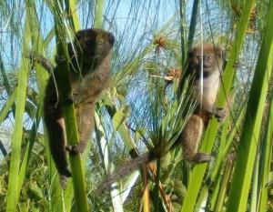Durrell Conservation Alaotran gentle lemurs