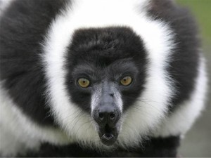 Durrell Conservation Black and white ruffed lemur