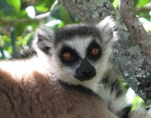 A male ring-tailed lemur! Photo is copyrighted by Lisa Gould and cannot be used elsewhere without permission.