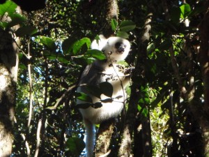 A Silky Sifaka in Antsahabe.