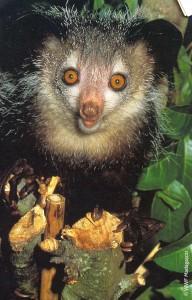 WWF daubentonia madagascariensis