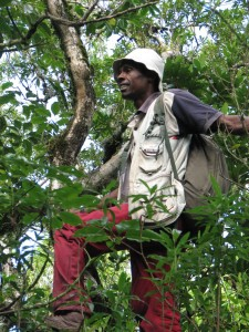 Dahari Comores Technician Ishaka looking for lemurs in a tree