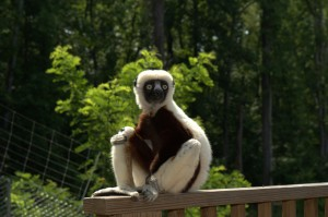 Jovian, who played Zaboomafoo, is a coquerel's sifaka. Photo courtesy of the Duke Lemur Center.