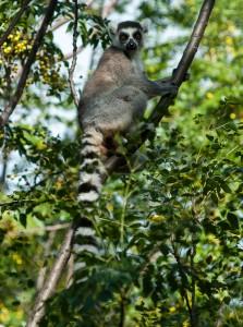 Ring-tailed lemur. Photo by Jeff Gibbs.
