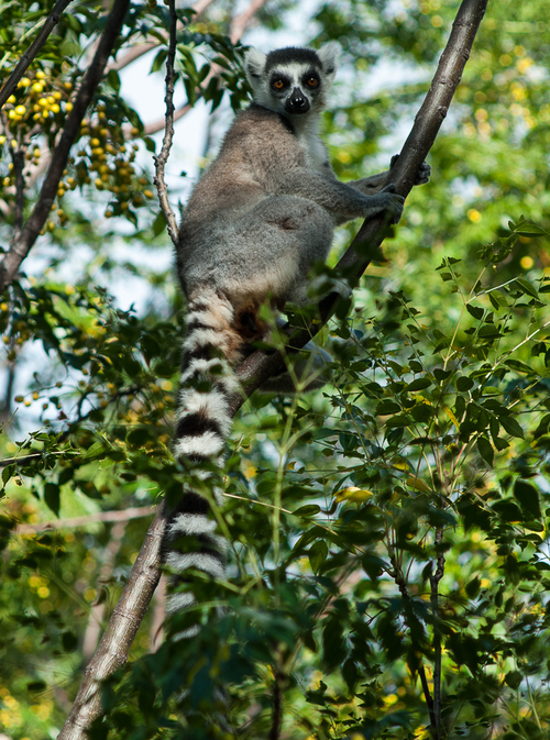 Ring-tailed lemur. Photo by Jeff Gibbs.