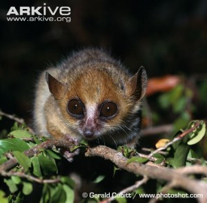 Madame Berthe's mouse lemur—aggressively cute. Photo © Gerald Cubitt / www.photoshot.com