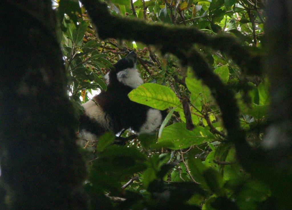 Black-and-white ruffed lemur at S05
