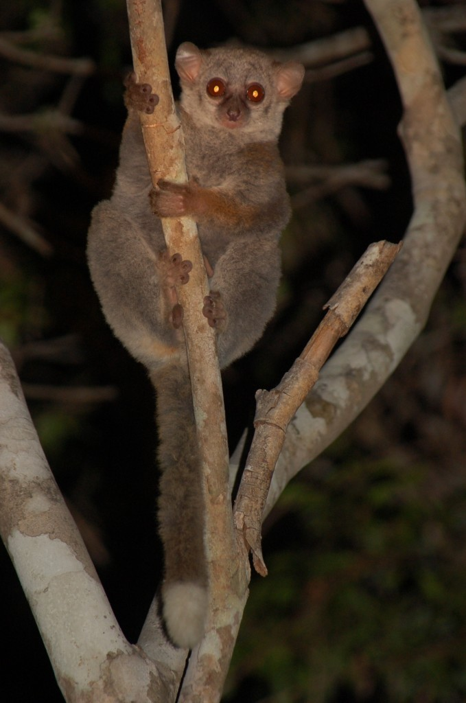 Lepilemur edwardsi, Ankarafantsika National Park (photo: E. Zimmermann)