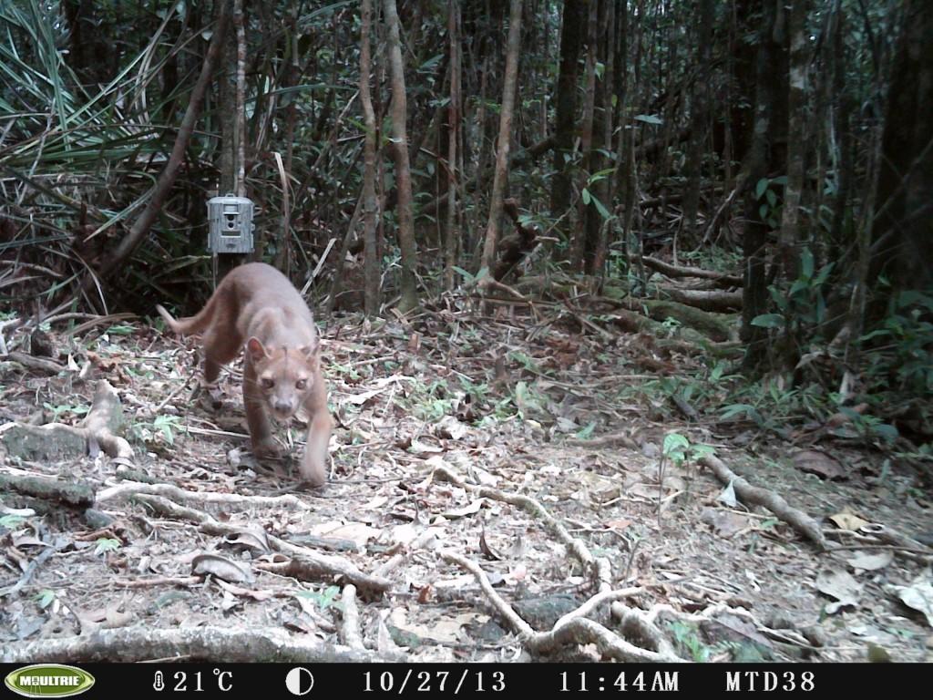 Fosa largest native carnivore