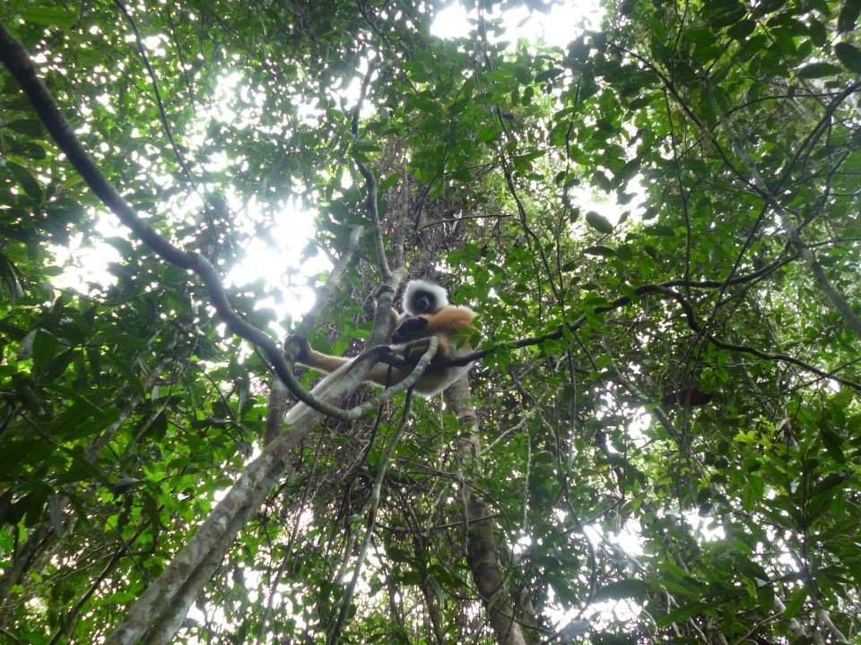 Just hanging out - the diademed sifaka