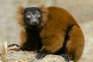 A red ruffed lemur!