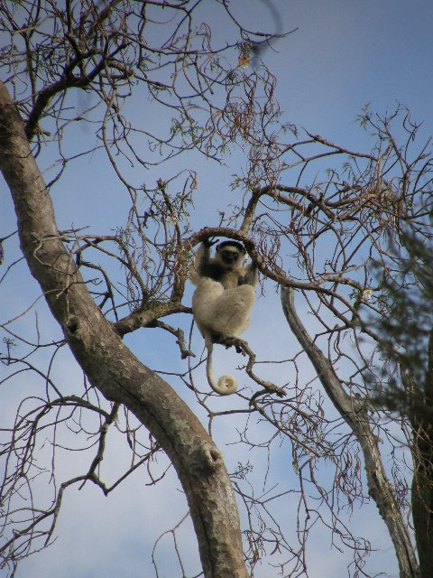 Verraux's sifaka, Photo courtesy of Ho Avy