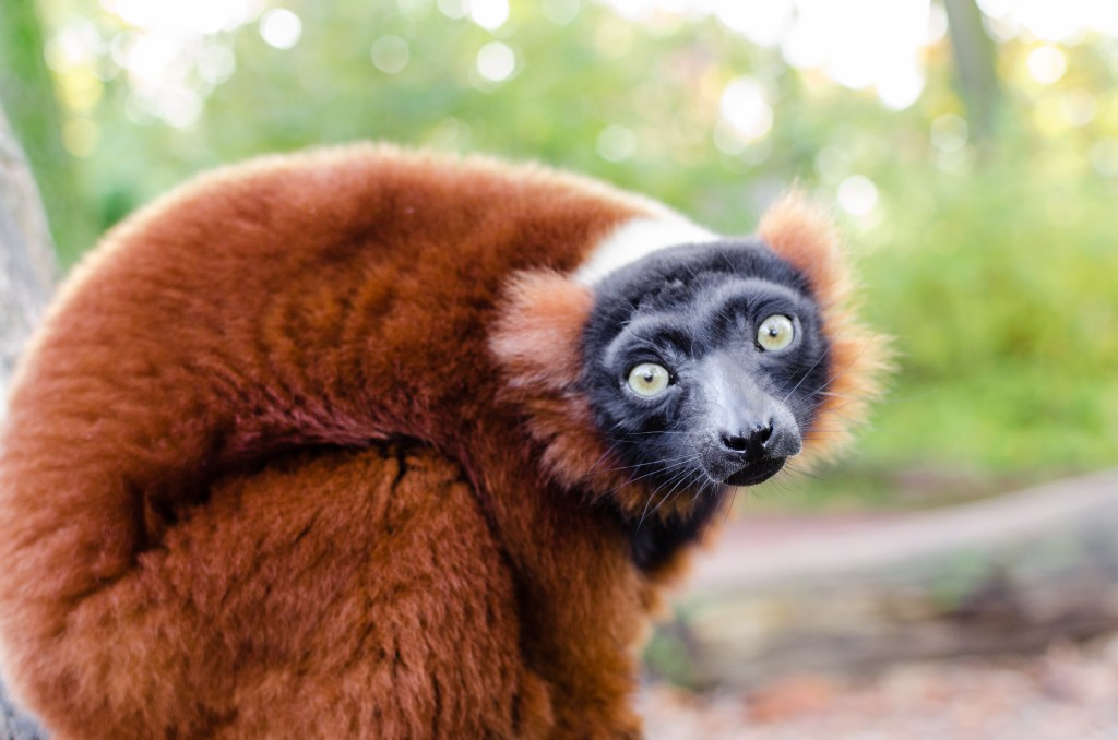 Red ruffed lemur photo by Matthias Appel