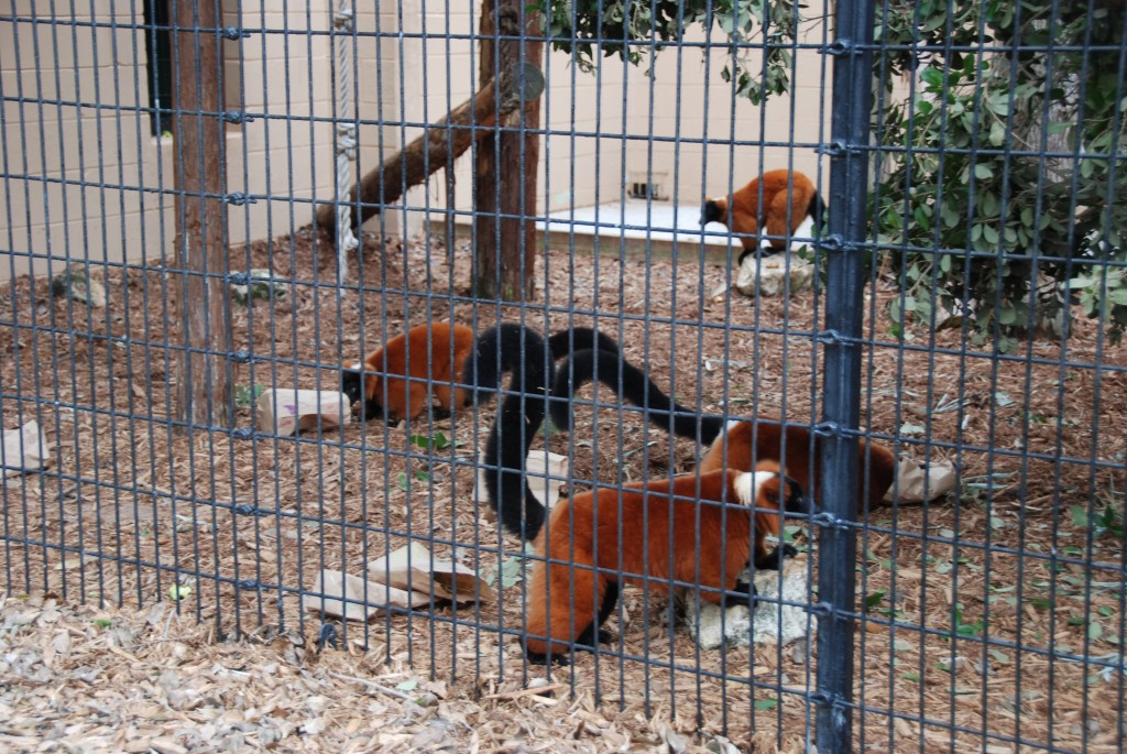 The lemurs at the Central Florida Zoo received special enrichment treats for Lemur Conservation Day.