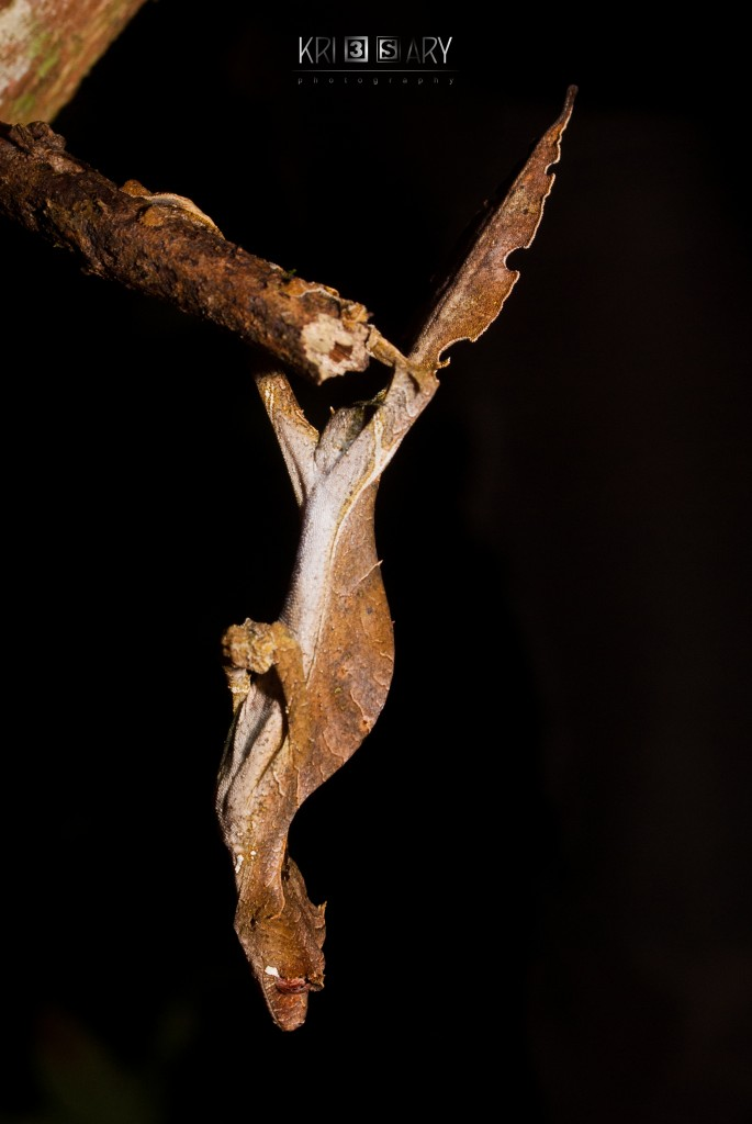 Leaf-tailed gecko. Photo by Raoelison Christian Tolotra Johnson.