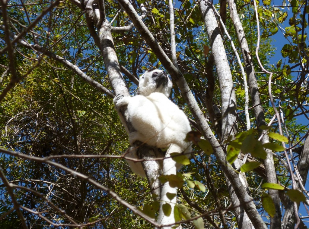 One lonely sifaka