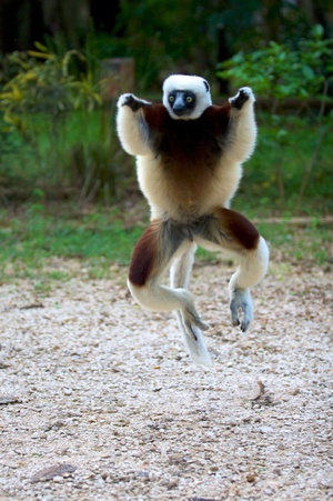 Coquerels sifaka jumping. Photo by Travis Steffens.