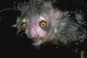 Photo of an aye-aye by David Haring: http://dharing.zenfolio.com/
