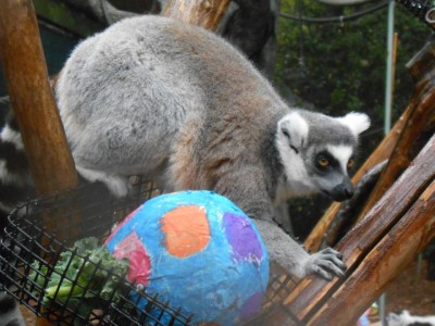 Enrichment for the ring-tailed lemurs at Zoo Atlanta for Lemur Day. Photo courtesy of Zoo Atlanta