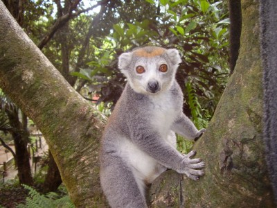 Crowned lemur at Parc Zoologique Ivoloina. Photo courtesy of Madagascar Fauna and Flora Group.
