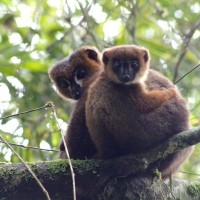 Adult male red-bellied lemur Atody with infant Ovy, showing off an example of allomaternal care. Photo by Pierre Lahitsara, as part of a face recognition project.