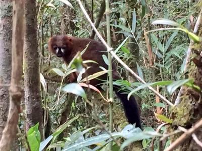 Red-bellied lemur in Ranomafana National Park.
