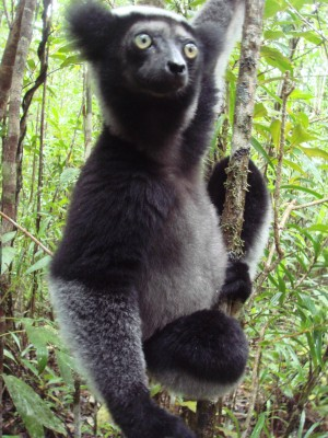 The indri, the largest of all living lemurs, can only be seen in Madagascar, as they are not kept anywhere in captivity. They are one of the country's largest toursit draws.