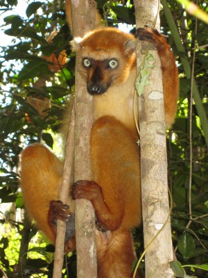 Blue-eyed black lemur. Photo courtesy of Dr Melanie Seiler.