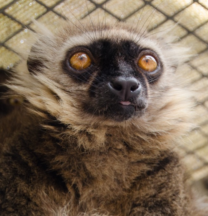 Meet Ikoto! He is the last male sanford lemur in captivity, and was photographed by Joel Sartore for National Geographic's Photo Ark exhibit. He's a star! Photo by Lynne Venart