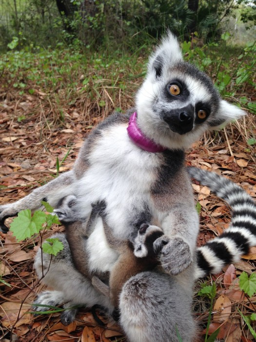 A few weeks after my visit, this mama ring-tailed lemur gave birth to these adorable twins!