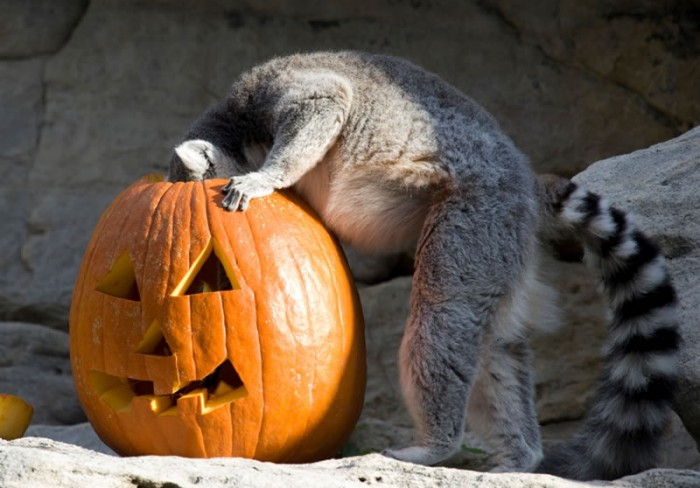 Ring-tailed lemur interacting with pumpkin enrichment for Halloween at the National Zoo (Photo credit: Mehgan Murphy)