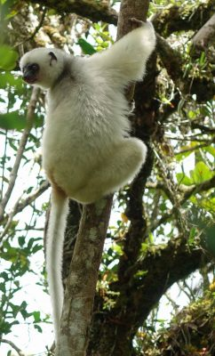 A silky sifaka at Camp Indri in Anjanaharibe-Sud Special Reserve in Feb 2015. Photo by Erik Patel.