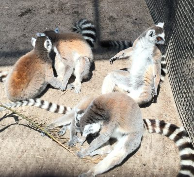 The lemurs at the Dade City Wildlife Ranch
