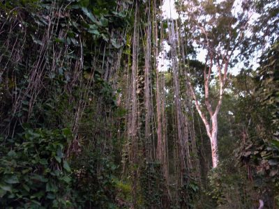 The forest where we start our search for aye-ayes. Lots of crazy vines if you're looking for your Tarzan moment!