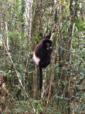 The Milne-Edwards Sifakas were so close that I took this photo with my cell phone!