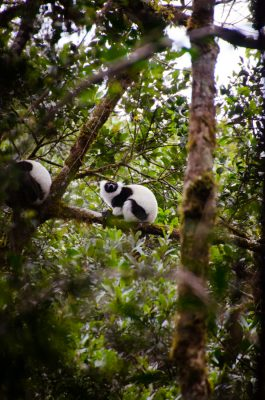 Black and white ruffed lemurs in Ranomafana National Park. Photo by Lynne Venart.